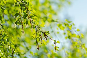 green young birch branch with catkins sunlight