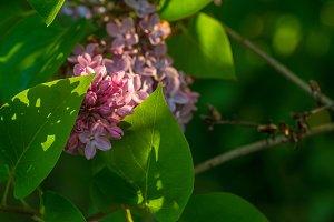 Lilac in the setting sun