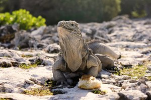 Island of iguanas living in wildlife. Cayo Largo island in Cuba, caribbean sea.