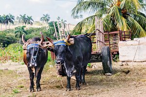 Rural view of two oxen used as transport pulling a cart in Cuba.