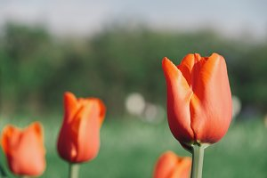 Close up view of red tulips growing in a park with selective focus