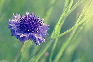 Cornflower in retro style