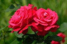 Red roses closeup