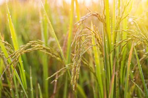 rice in farm thailand.