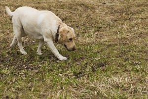 Labrador walking in the park