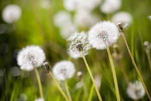 Dreamy Dandelion #1