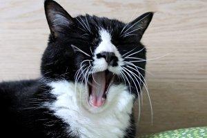 Yawning tuxedo cat