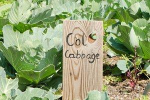 Organic cabbage field.