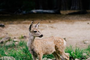 Staring Deer, II