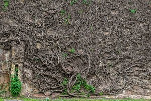 Branches & roots of a giant creeper