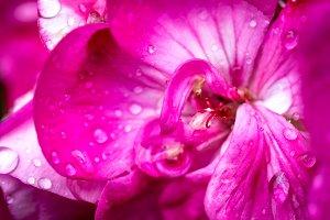 Geranium and dew