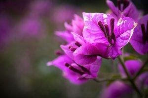Bougainvillea before flowering