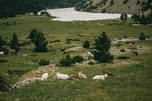 field with cows in the mountains