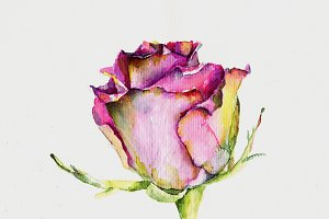 Illustration of rose in watercolor