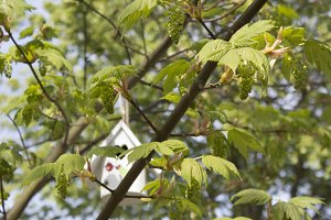 Birdhouse in Maple tree at spring