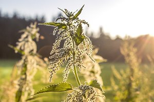 Backlit Nettle II