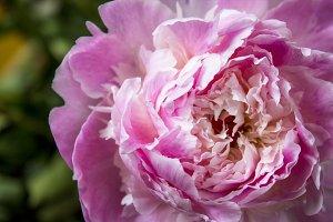 Pink Rose III