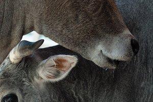 Ox Eyes