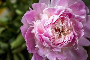 Pink Rose IV