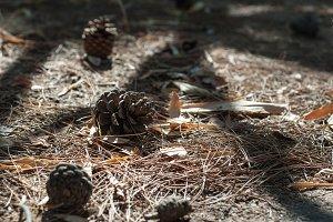 Pine Cones and Shadows