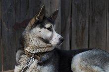 Chain dog, lying on the sidewalk near a wooden fence