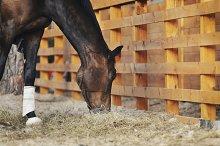 Chestnut horse eating hay