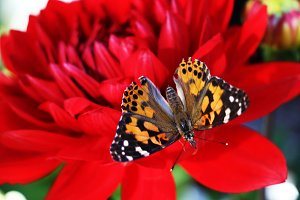 Butterfly on Red Flower 3