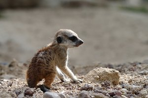Young suricate
