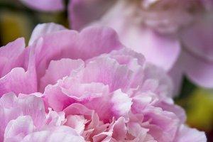 Pink Rose V