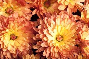 orange chrysanthemum flower