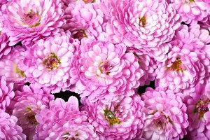 magenta chrysanthemum flower