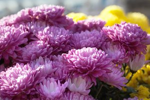 magenta chrysanthemum flower