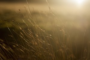 Golden glow in the grass.