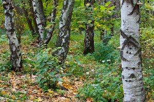 birch trees in autumn city park