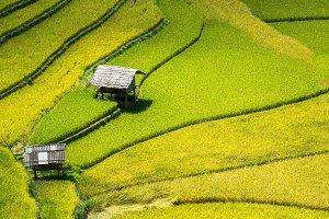 Closeup Rice fields on terraced
