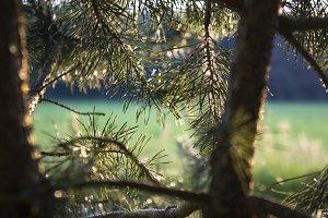 Backlit Pine I