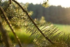Backlit Pine III