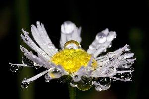 Daisy in morning dew