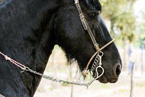 Arab horse runs in