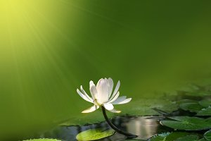 water lily on a green