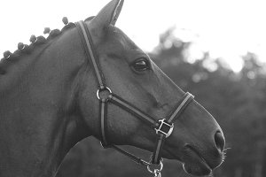 Black and white horse portrait