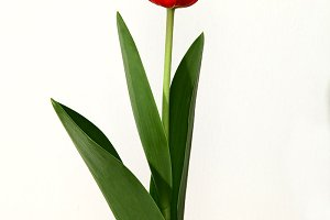 Red Tulip flower on black