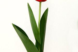 Red Tulip flower on black