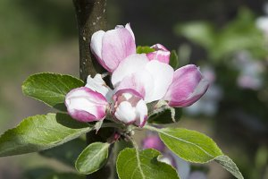 Apple Blossom IV