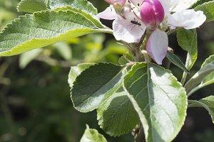 Apple Blossom III