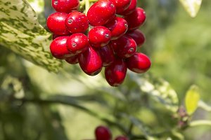 Red Berries at spring time II