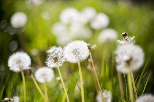 Dreamy Dandelion #2