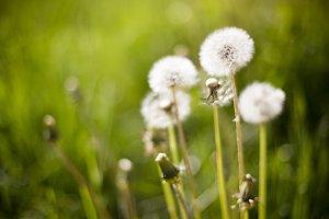 Dreamy Dandelion #3