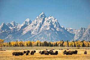 Grand Teton Buffalo