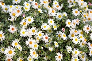 white aster flowers